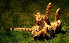 Cheetah Relaxing On Grassy Field