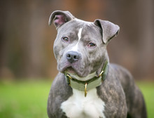 A Blue Brindle And White Pit Bull Terrier Mixed Breed Dog Listening With A Head Tilt