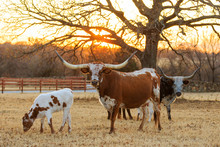Texas Longhorns In The Pasture