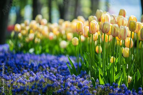 Fotografie, Obraz tulip