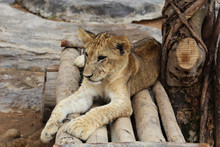 Lion Cub Lying On Logs In The ...