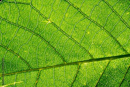 Fototapeta The leaves of the tree are green, the backlight obraz na płótnie