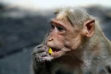 Close-Up Of Rhesus Macaque Feeding