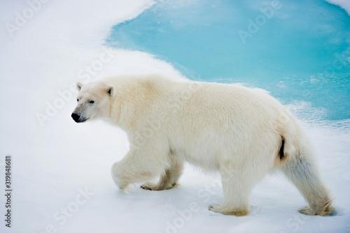 Polar Bear Walking On Snow Covered Field Fototapet