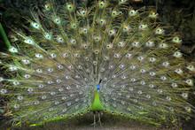 Peacocks And Their Beautiful C...