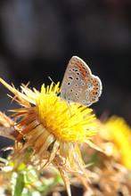 Farfalla Su Un Fiore Di Cardo