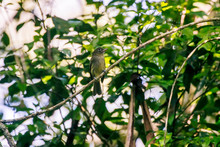 Scene Of The Olivaceous Flatbill Perched On A Branch. The Bird S Head Is Turned To The Right Side. Green Leaves In The Background.