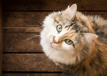 Cat's Face With Eye Contact An...
