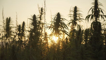Silhouette Of Marijuana Plants...