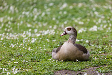 Egyptian Goose Relaxing On Grassy Field