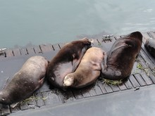 High Angle View Of Seals Sleeping On Pier