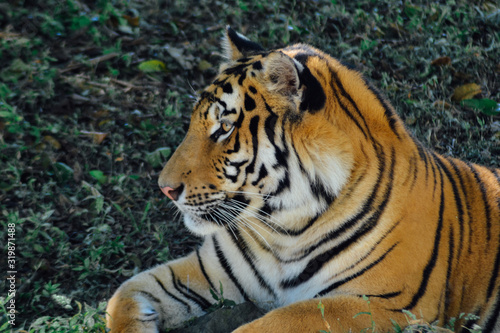 Fotomural Close-Up Of Tiger Resting On Field