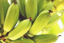 Close-Up Of Bananas Growing On...