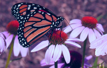Monarch Butterfly On A Flower ...