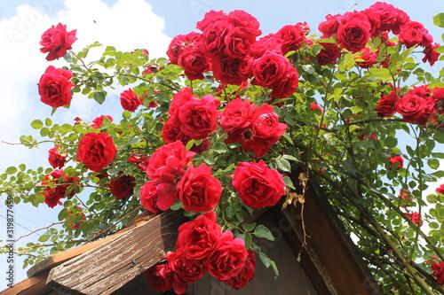 rose rosse rampicanti su pergola di legno Canvas Print