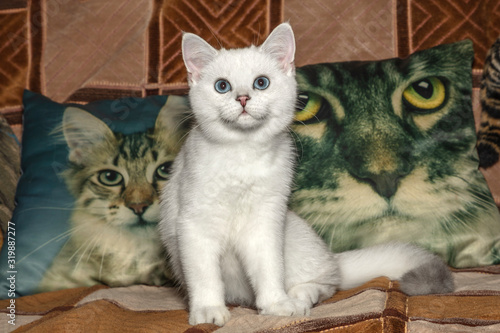 Fototapety, obrazy: Three cats looking at you