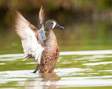 Male Blue-winged Teal Duck