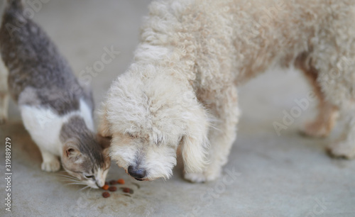Photo Poodle dog take food from cat