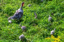 Turkey And Chicks Turkey Graze On The Village On Pasture In Green Grass.