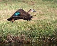 Pacific Black Duck In Flight