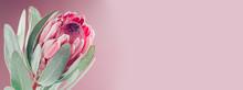 Protea Flower Bunch. Blooming ...