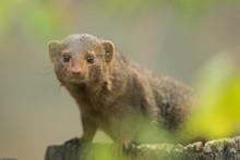 Portrait Of Dwarf Mongoose Out...