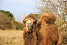 Portrait Of Hairy Camel Standing On Field