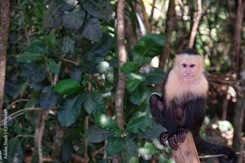 Portrait Of Capuchin Monkey Sitting On Tree Billede på lærred