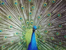 Close-Up Of Peacock With Fanned Out