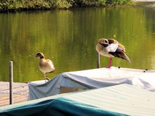 Egyptian Geese Wading On Covered Boats By Lake