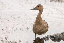 A Pintail Duck Female Stands I...