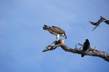 Low Angle View Of Crow And Osprey With Prey On Dead Tree Against Sky