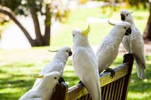 Cockatoo Birds At Royal Botanic Gardens