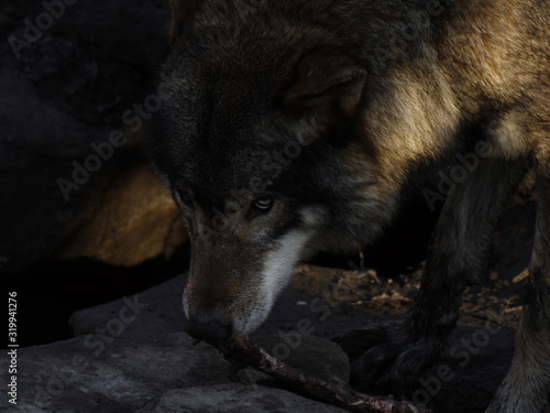 Close-Up Of Wolf On Rocks In Cave Fotobehang
