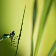 Close-Up Of Azure Damselfly On Grass