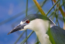 CLOSE-UP OF Black-crowned Night Heron ON BRANCH
