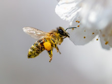 A Bee Collects Honey From A Fl...