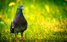 Close-Up Of Pigeon On Grass