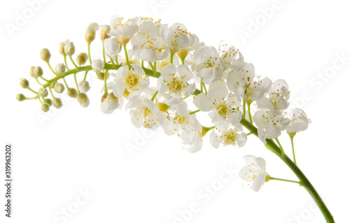 Fototapety, obrazy: Bird cherry spring flowers on branch isolated on white background