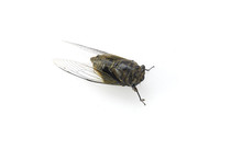 Close Up On Cicada On The Whit...