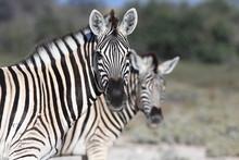Portrait Of Zebras On Field