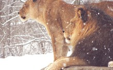 Close-Up Of Lion And Lioness On Snow Covered Field