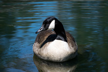 Close-Up Of Canada Goose Swimming In Lake