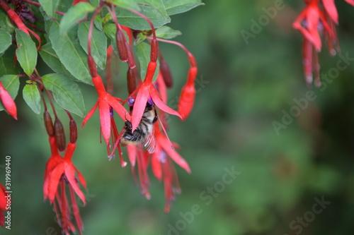 Fotografia Bumblebee On Fuchsias Blooming In Park