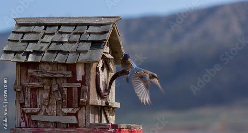 Billede på lærred Eastern Bluebirds Flying By Birdhouse