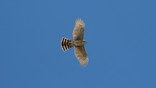 Low Angle View Of Cooper Hawk Flying Against Clear Blue Sky