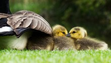 Scenic View Of Chicks Under Mother Duck's Wing