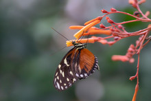 Beautiful Tiger Longwing (Heli...