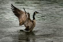 Side View Of Canada Goose Swim...