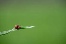 Two Ladybug On Grass Macro Clo...
